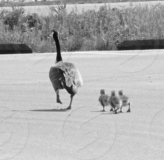 Canada goose goslings momma mom babies children follow the leader.  photo