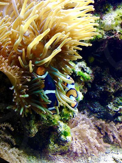 Underwater clown fish anemone fish photo