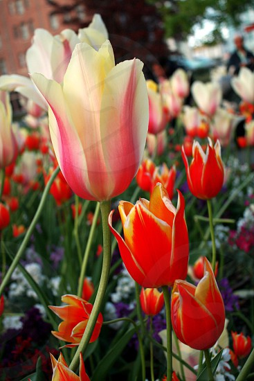 white pink and red tulip flowers photo