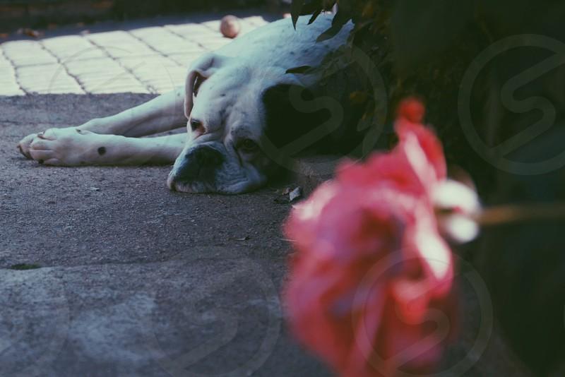 white english bulldog lying on floor photo