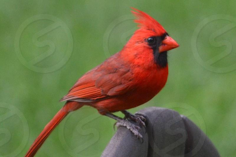 red cockatiel photo