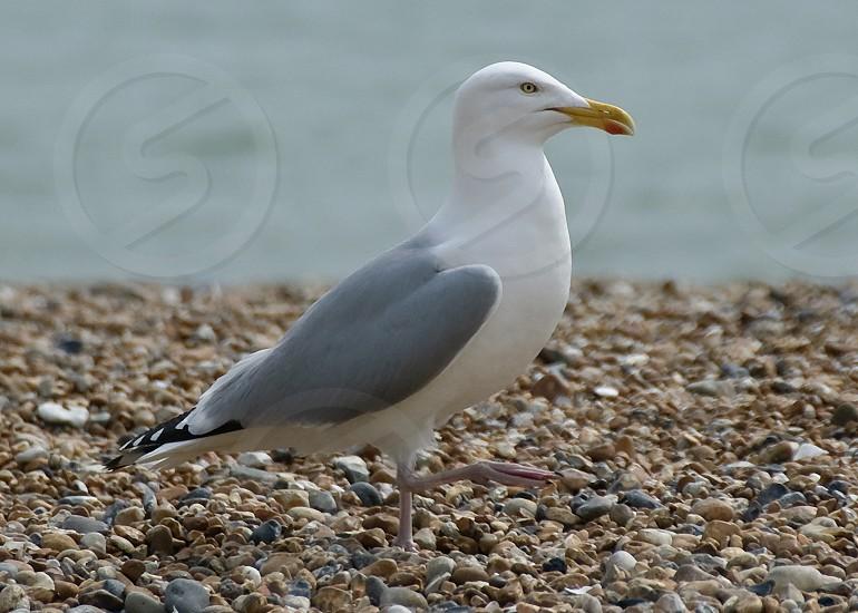 A herring gull out for a walk on Brighton beach photo