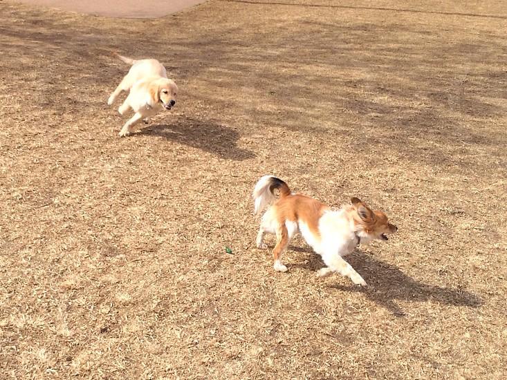 white dog running after dog photo