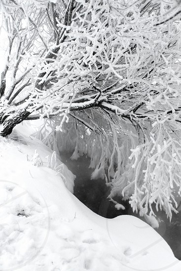 Nature of winter stream trees in the snow photo