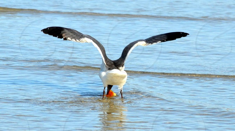 A bird catching a fish in the ocean. photo
