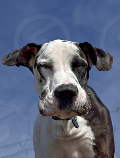 looking down dog lips jowls squinting cute great dane harlequin photo
