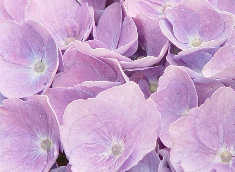 Purple Hydrangea in my yard photo