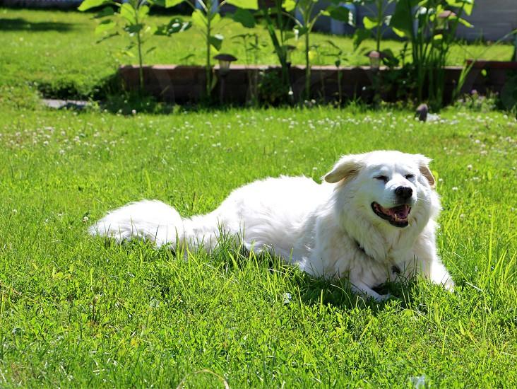 white fluffy dog green grass mix dog smiling dog photo