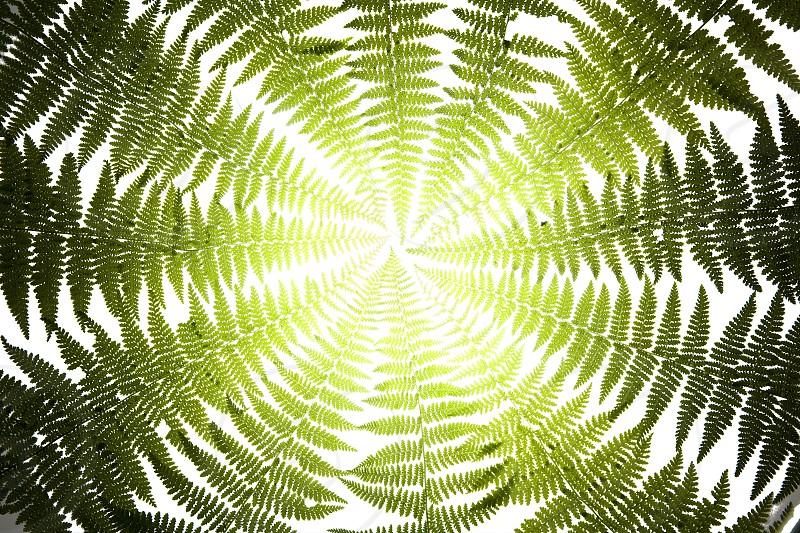 green ferns photo
