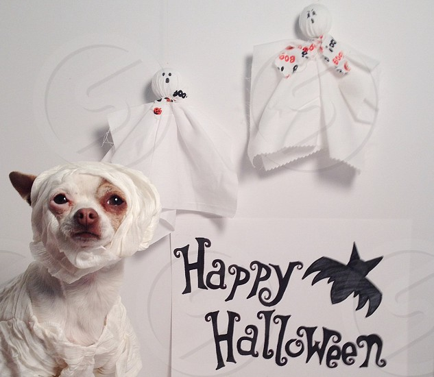 brown and white chihuahua in wrapped around tissue paper with happy halloween sign board on side photo
