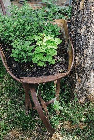 herbs garden garden rusted wheelbarrow rustic homegrown photo