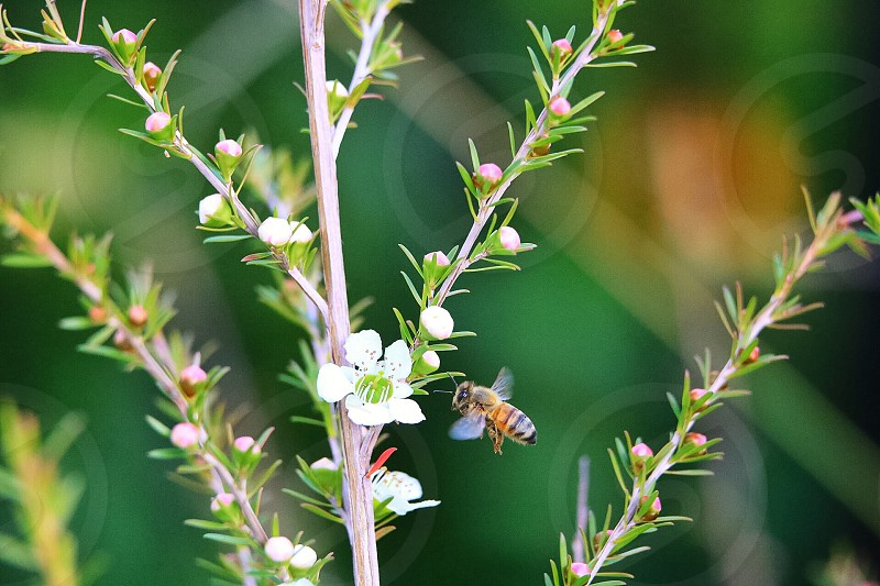 black and brown honey bee hovering on white flower photo