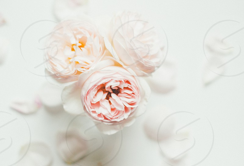 David Austin roses in a vase on a white background photo