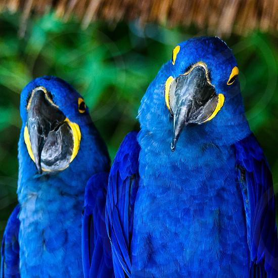 Bluebirdsmacawspairanimal  photo