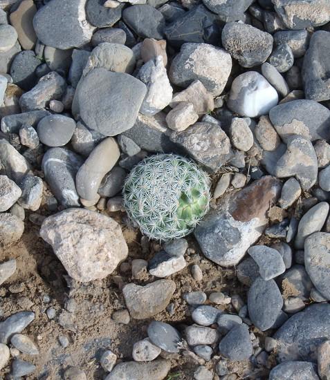 Small cactus growing up through gravel photo