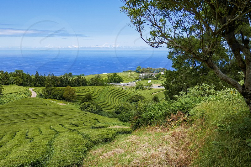 Europe Azores island tea plantation scenery nature photo