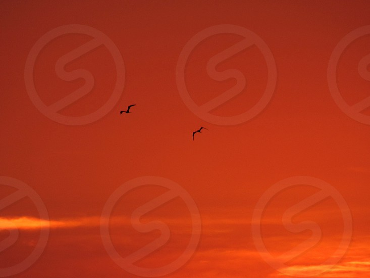 silhouette of 2 soaring birds in orange sky photo