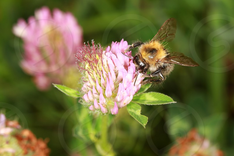 Bumble bee on purple clover photo