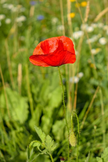 A downwards shot of a poppy in a field photo