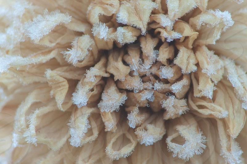 A dahlia flower coated in frost cyrstals photo