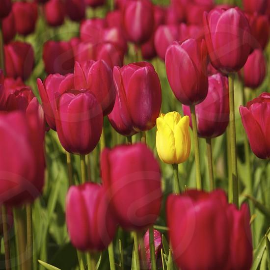 Tulips Field  photo