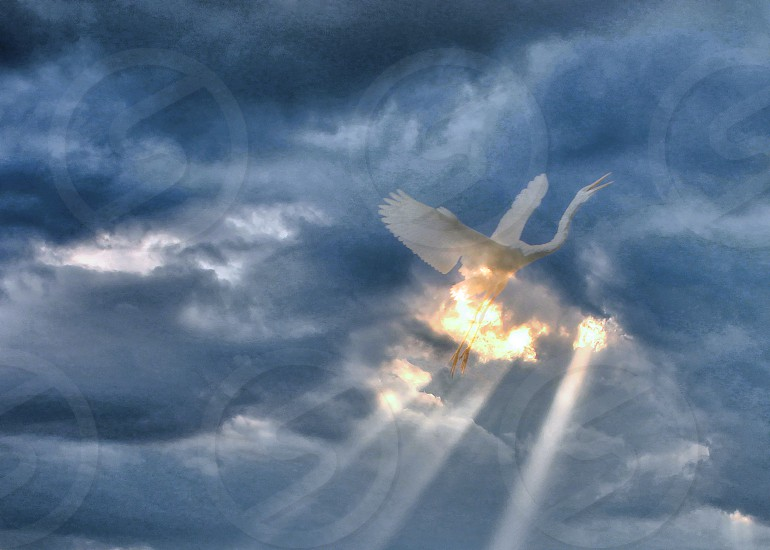 A white egret is seen soaring upward from abeam of light in dark clouds. photo