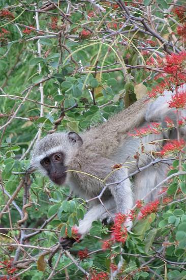 Vervet Monkey photo