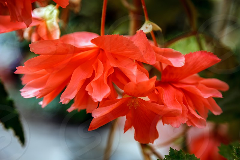 Red trailing Begonia flowers in bloom in New Zealand photo