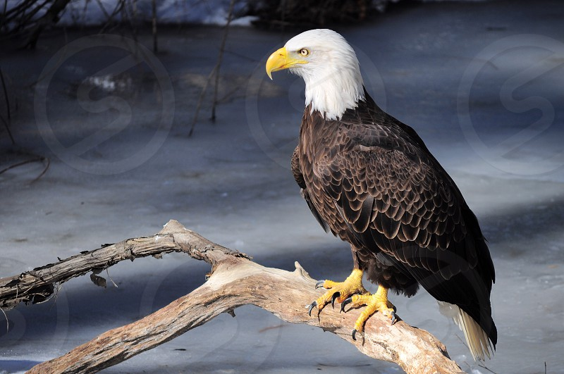 american bald eagle resting on green branch during winter photo