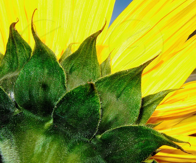 Seen from the reverse side: a sunflower and its leaves photo