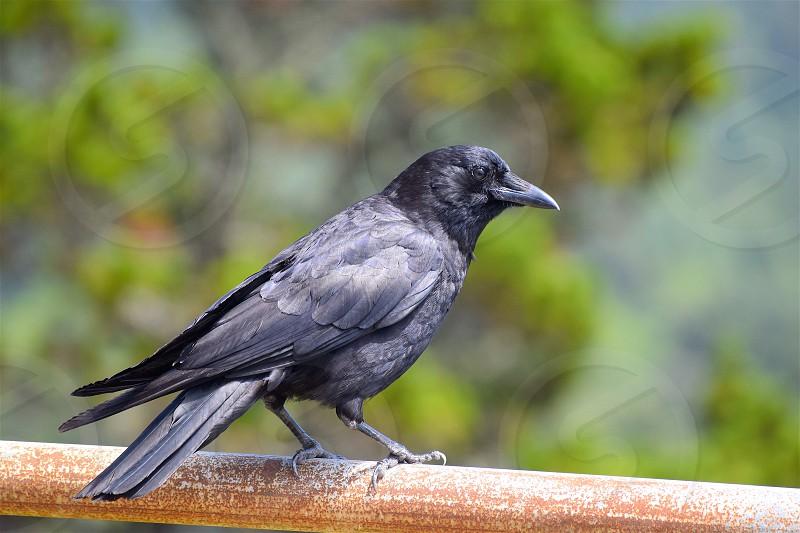 crow black bird perching sunning watching photo