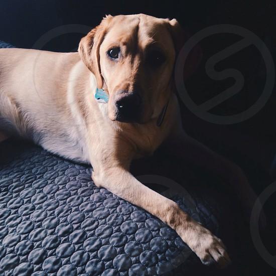 yellow labrador retriever photo