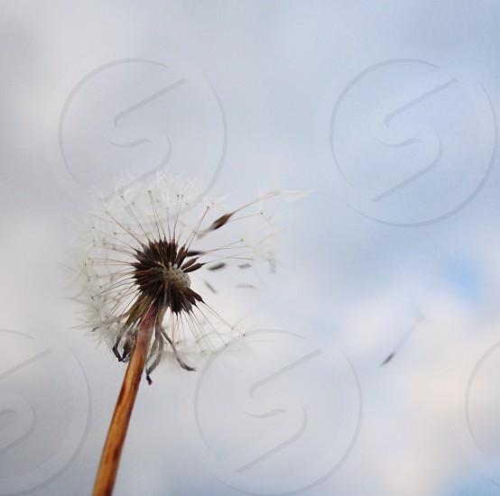 Wish spring hope dandelion  photo