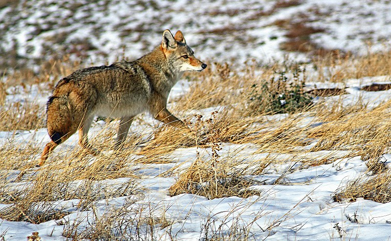 Coyote hunts on a snow covered field photo
