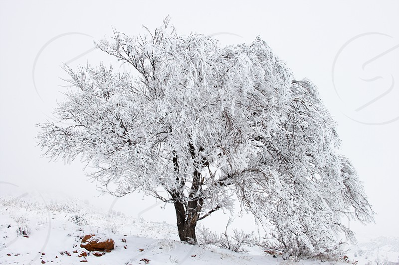 Solitary snow laden tree against foggy background in Red Rocks Park Denver Colorado  photo