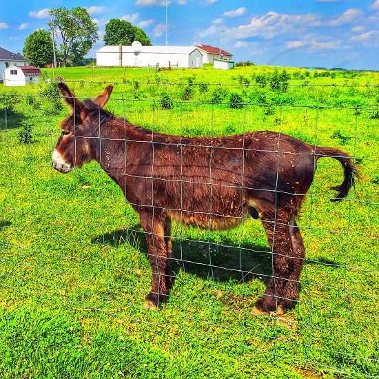 Donkey in the field.  photo