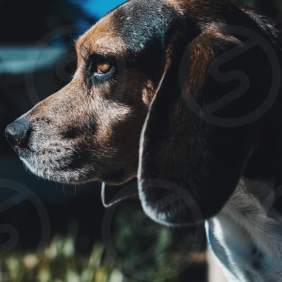 brown black white short-haired long-eared dog photo