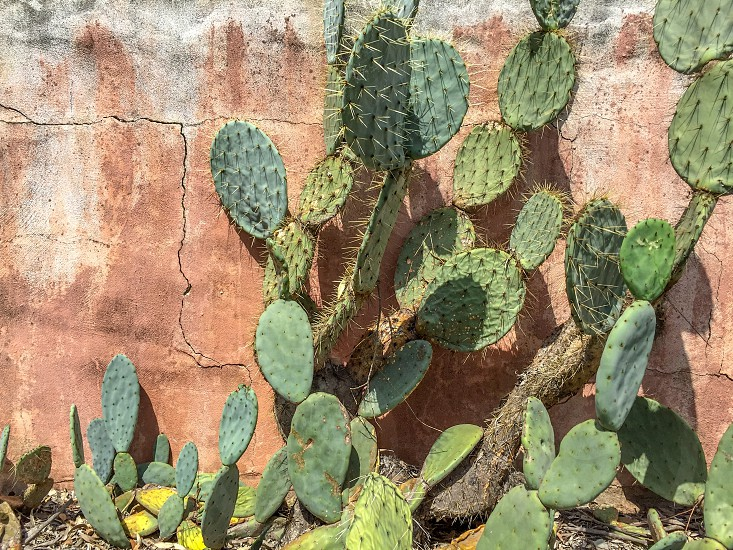 green cacti against brown stone wall photo