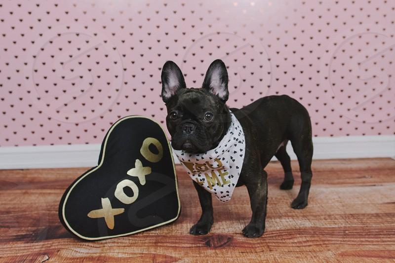 french bulldog puppy with heart bandana accessory on a fuzzy rug  photo