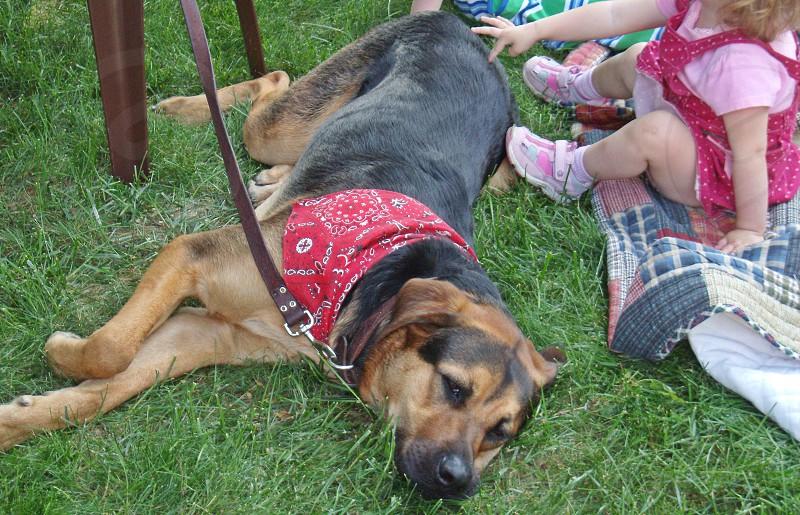 black and brown german shepherd dog photo