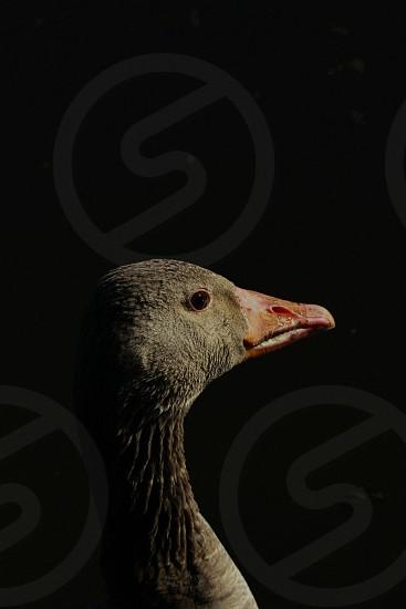 black bird with orange beak photo