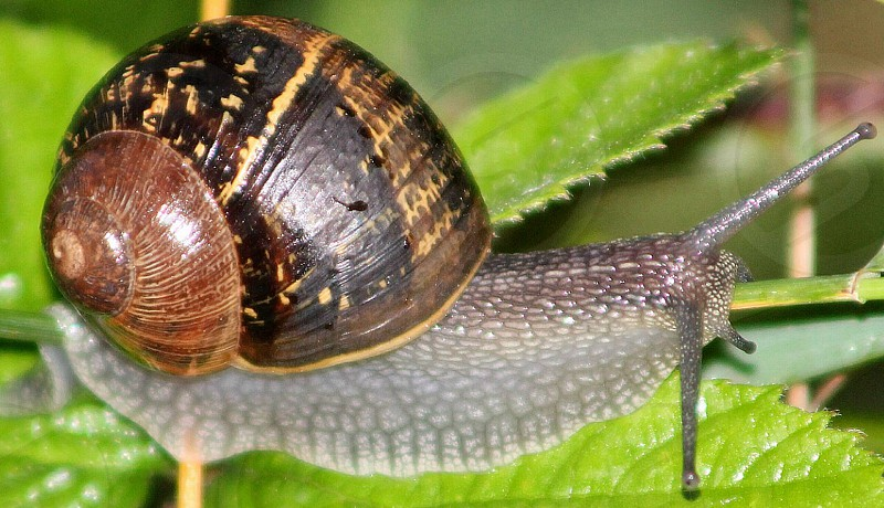 The slow crawl of the snail photo