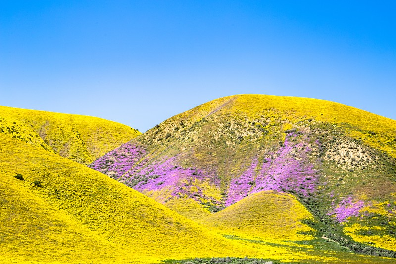 Wildflowers at Carrizo plains CA photo