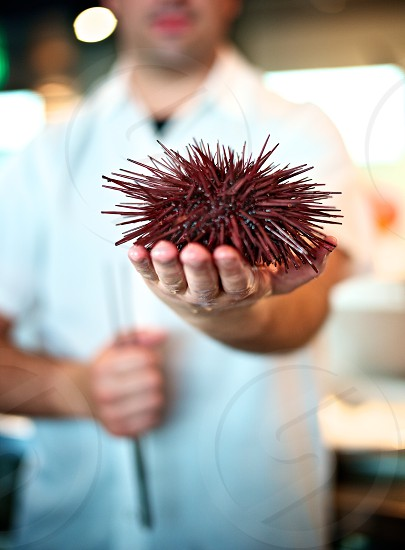 A chef holding a fresh live sea urchin in the palm of his hand. Shot at shallow depth of field. Focus dof seafood clams oysters raw bar restaurant  photo