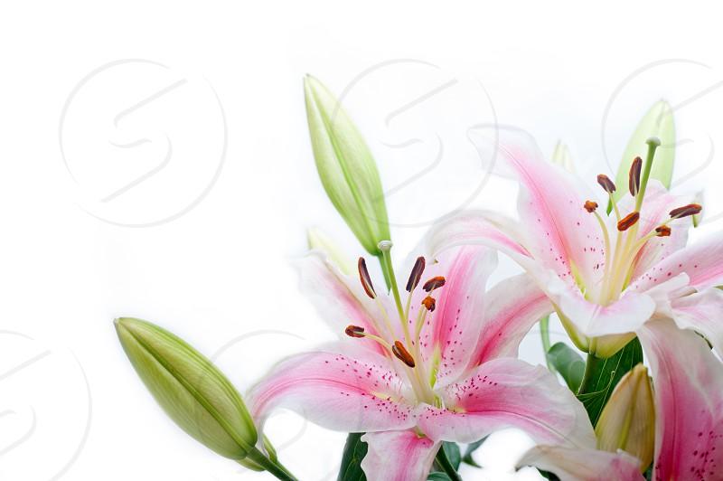 lily flowers corner frame photo