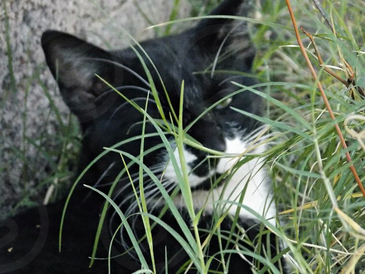 tuxedo cat on green grasses photo