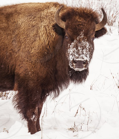 Been snorting snow. ... A Yellowstone bison in the dead of winter. photo