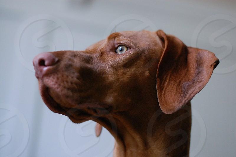 hungarian viszla dog face close up photo
