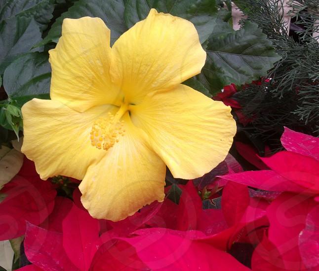 Yellow hibiscus flower in the garden photo
