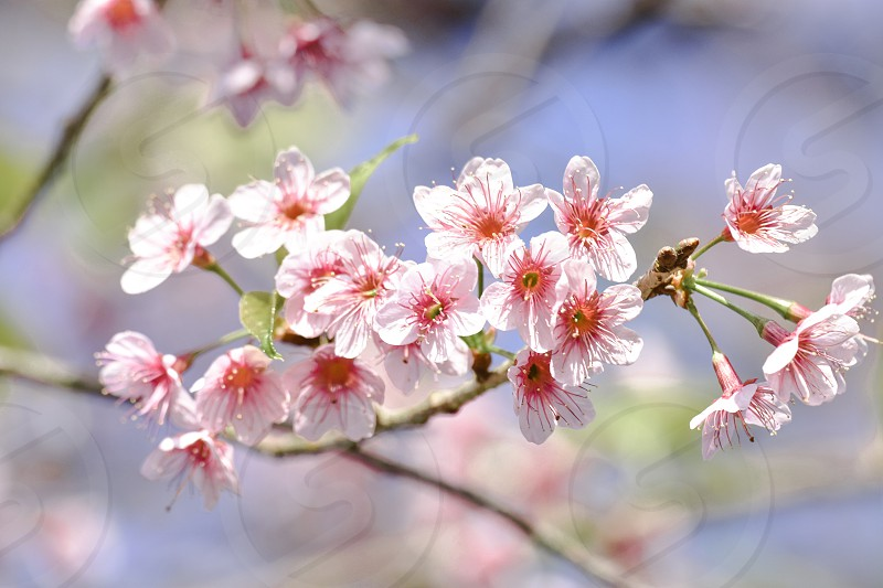 Pink flowers cherry blossoms at Doi Pha Hee Chiang Rai Thailand. photo